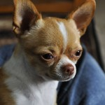 Light brown short haired Chihuahua