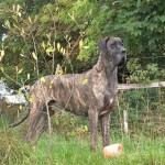 Male brindle Great Dane