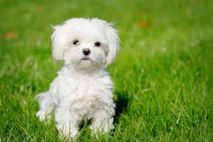 Maltese puppy wallpaper