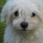 Maltese puppy head