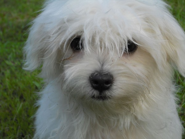 Maltese puppy head