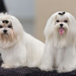 Maltese show dogs