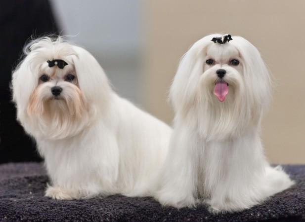 Maltese show dogs