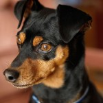 Miniature Pinscher head