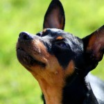 Miniature Pinscher head (2)