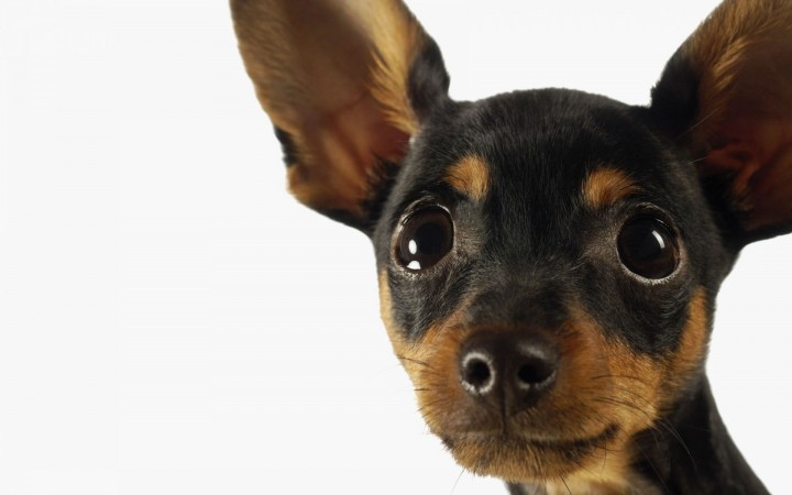 Miniature Pinscher head wallpaper