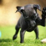 Miniature Pinscher playing wallpaper