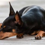 Miniature Pinscher sleeping wallpaper