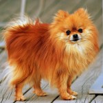 Orange Pomeranian wallpaper
