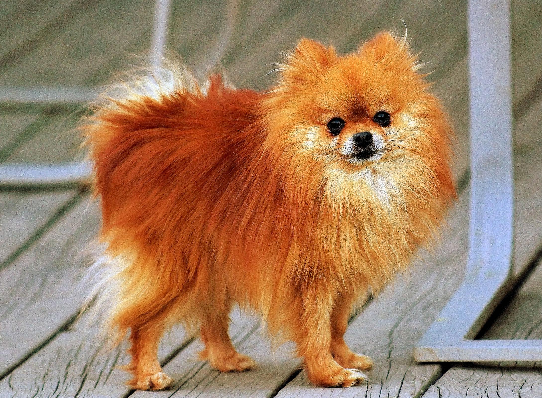 Pomeranian - My Doggy Rocks