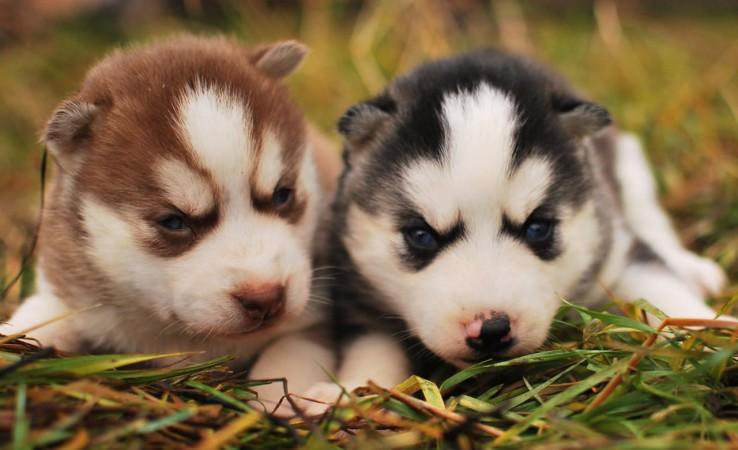 Pomeranian & Husky mix