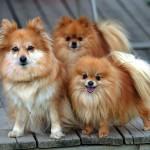 Pomeranian dogs