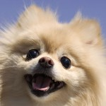 Cream Pomeranian head wallpaper