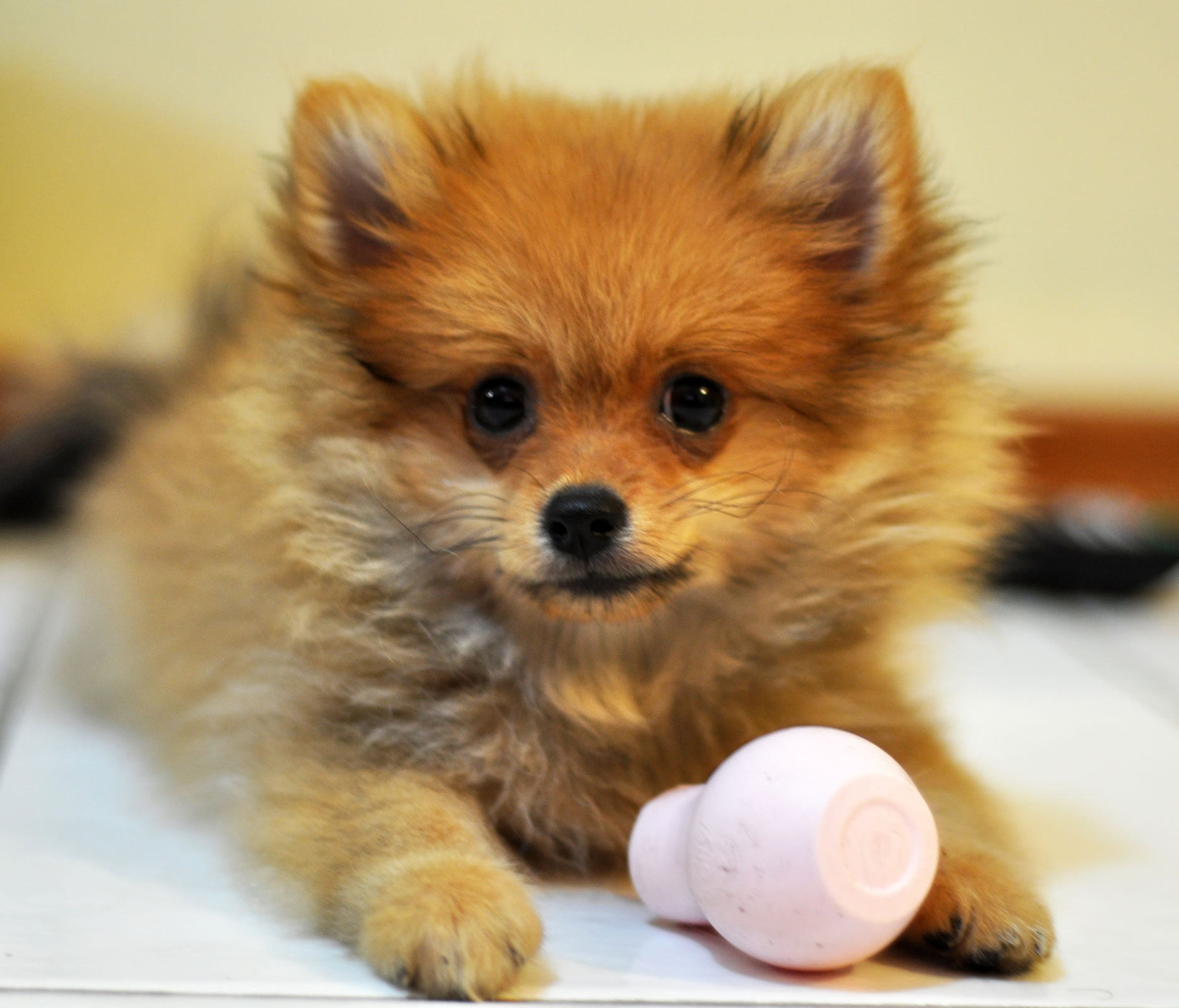 Pomeranian Puppy Wallpaper My Doggy Rocks