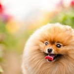 Pomeranian wallpaper