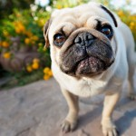 Pug dog wallpaper