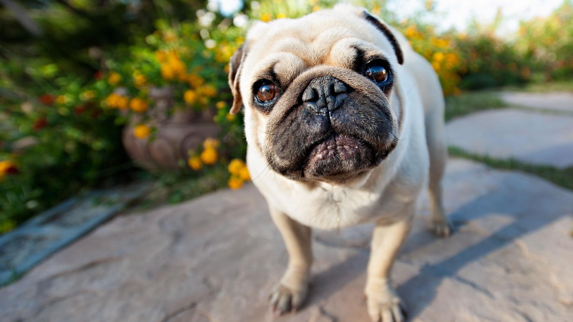 pug dog wallpaper - my doggy rocks