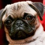 Pug's face