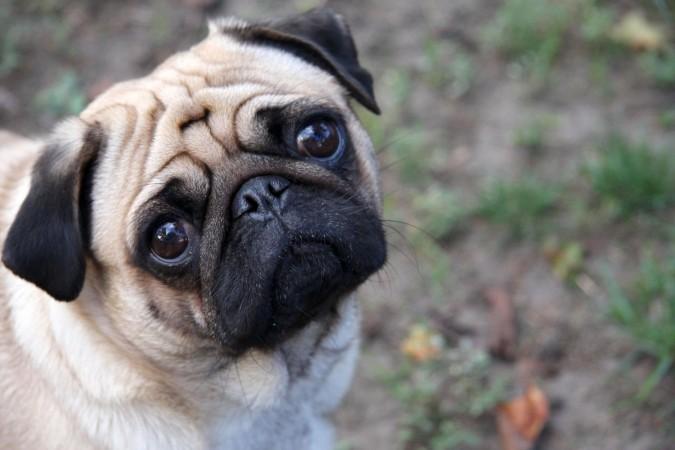 Pug head
