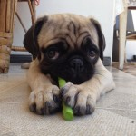 Pug puppy playing