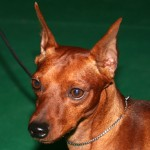 Red Miniature Pinscher with cropped ears