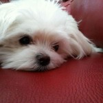 Sleepy Maltese