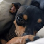 Sleepy Miniature Pinscher wallpaper
