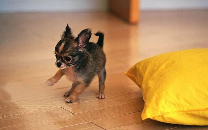 Tiny Chihuahua wallpaper