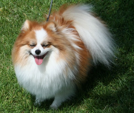 Tri-colored Pomeranian