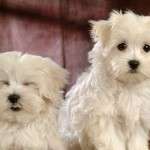 Two Bichon Frise dogs wallpaper