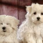 Two Bichon Frise dogs wallpaper