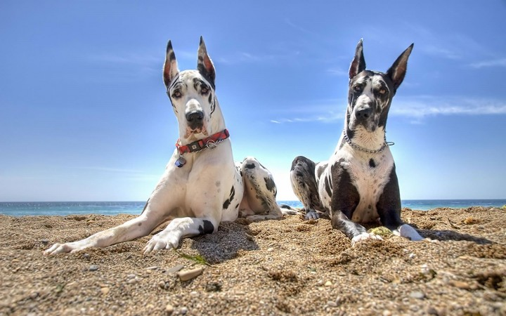 Two Great Danes wallpaper
