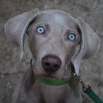 Weimaraner eyes wallpaper