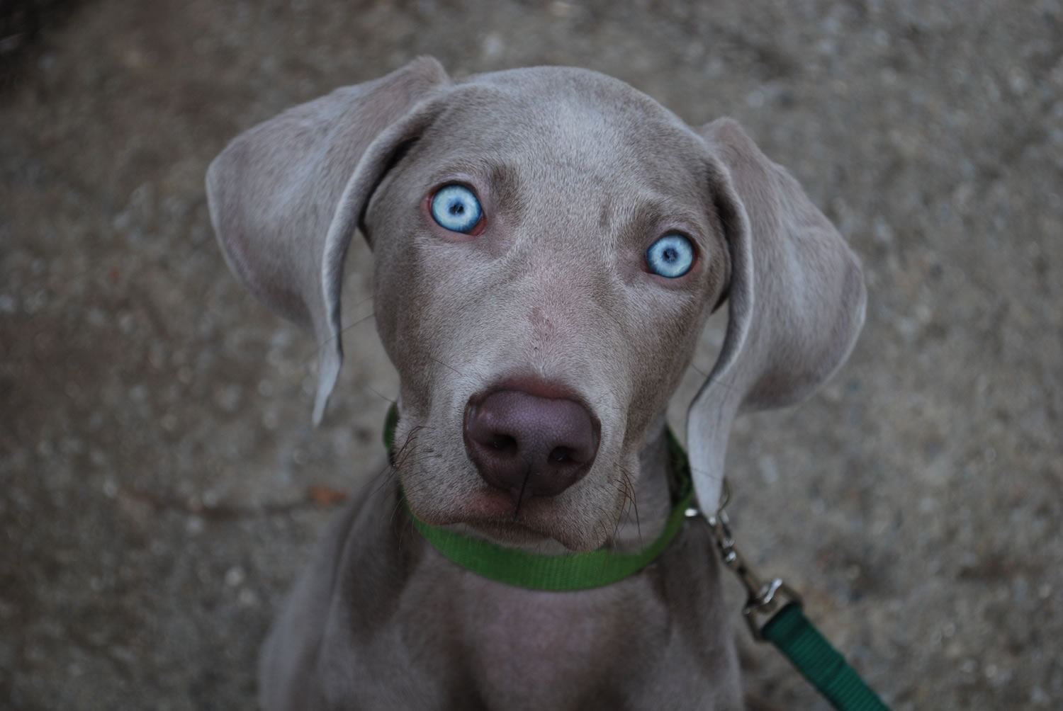 Weimaraner - My Doggy Rocks