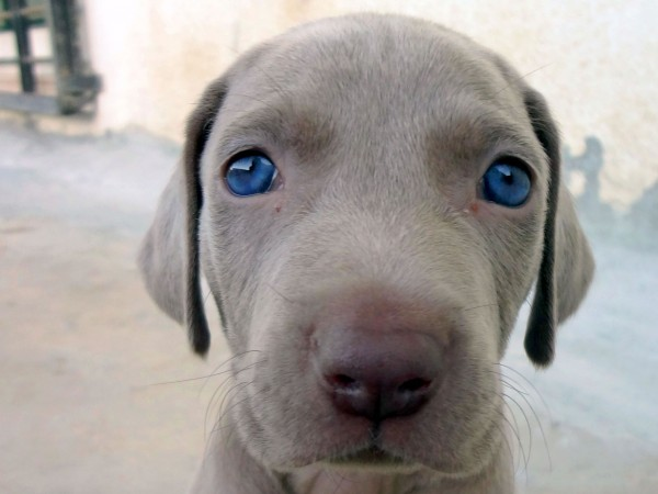 Weimaraner puppy head wallpaper