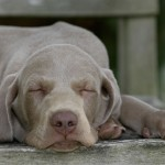 Weimaraner puppy sleeping