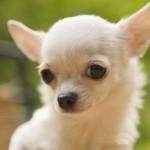 White Chihuahua head