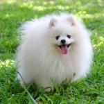 White Pomeranian (Pom)