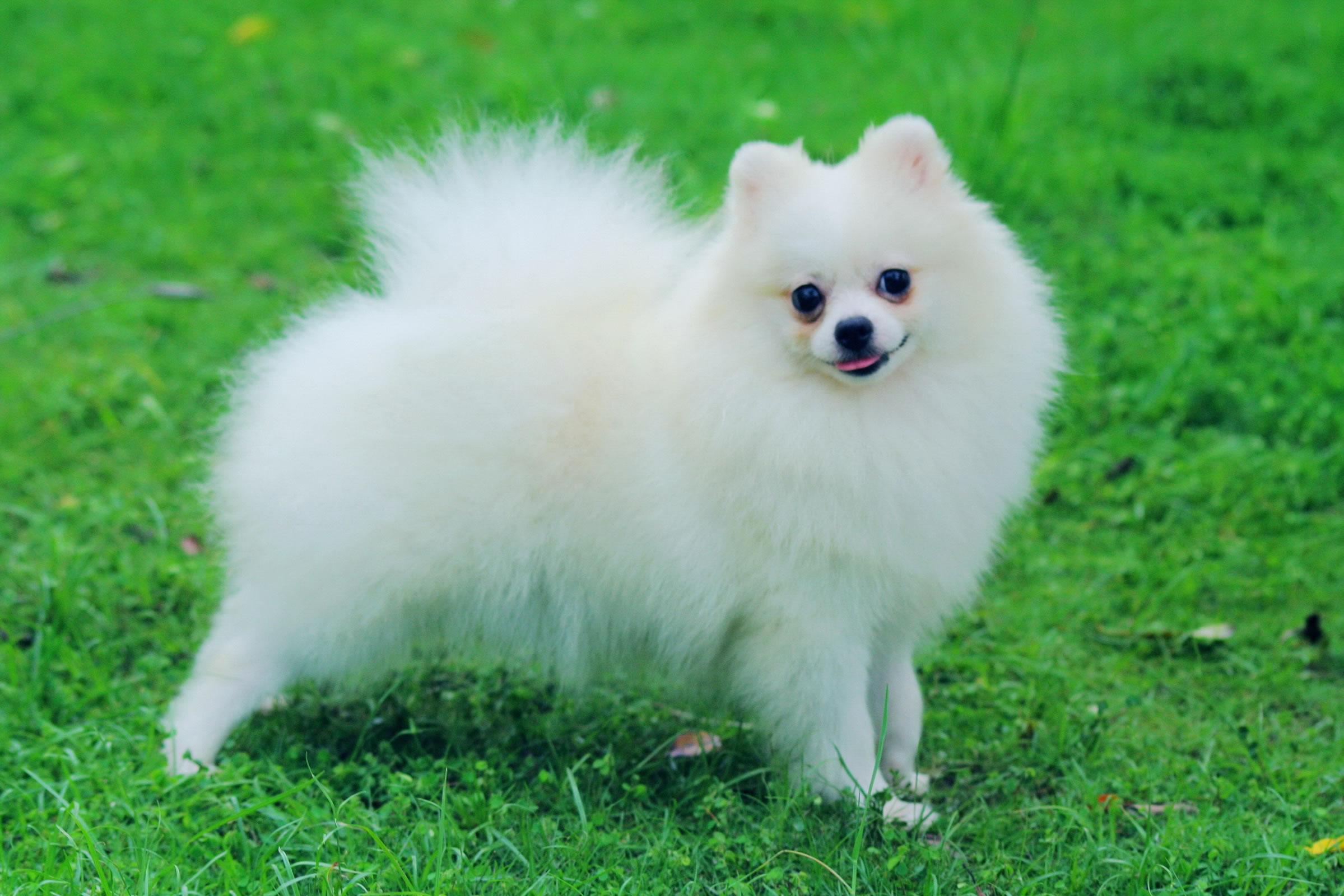 Pomeranian My Doggy Rocks