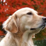 Yellow Labrador Retriever head wallpaper