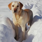 Yellow Labrador Retriever in snow