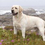 Yellow Labrador Retriever wallpaper