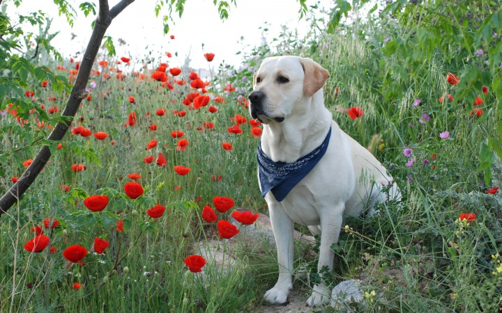 Yellow Labrador Retriever wallpaper (2)