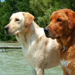 Yellow and Fox Labrador Retrievers
