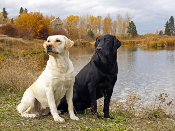 Yellow and black Labrador Retrievers
