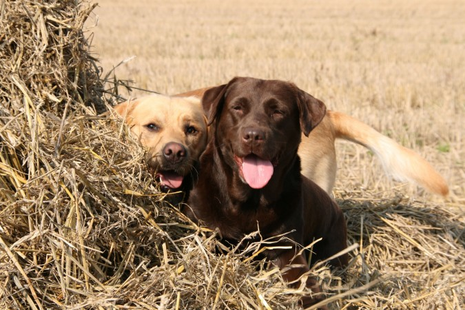 Yellow and chocolate Labrador Retrievers