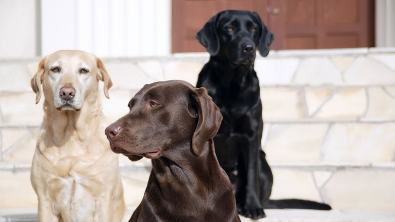 Yellow, black, and chocolate Labrador Retrievers