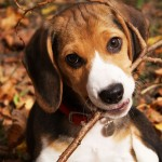 Beagle chewing branch wallpaper