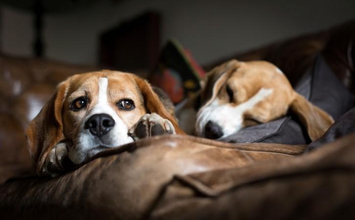 Beagle dogs resting wallpaper