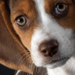 Beagle face wallpaper